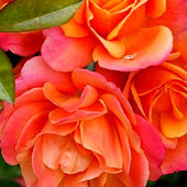 Brass Band Peach Colored Roses