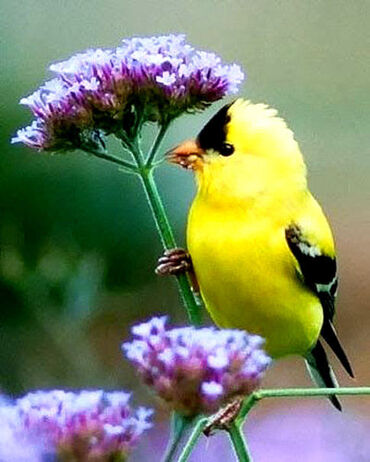 Goldfinch on Verbena Bonariensis