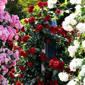 Awesome Rose Garden