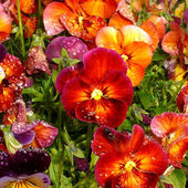 Pansies After Rain