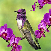 Costa's Hummingbird and Orchids
