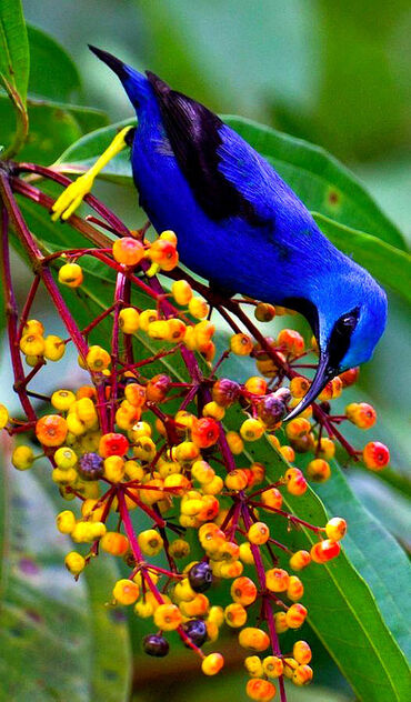 Shining Honeycreeper in Costa Rica