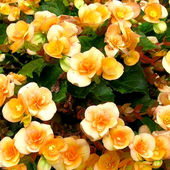 Awesome Begonia