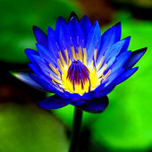 Blue Waterlily