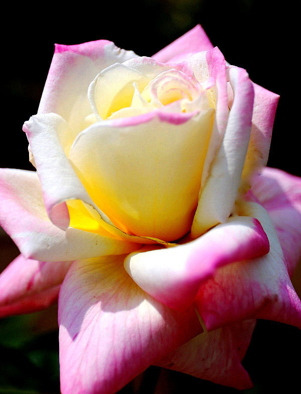 Two-colored Rose