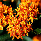 Bright Butterfly Weed