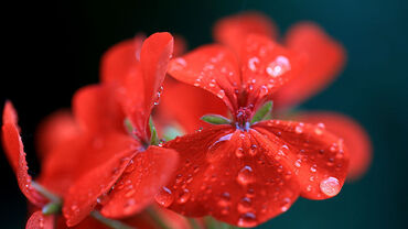 Red Geranium with droplets
