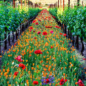 Flowers line the vineyard rows