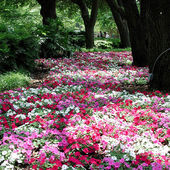 A Beautiful Path of Impatiens