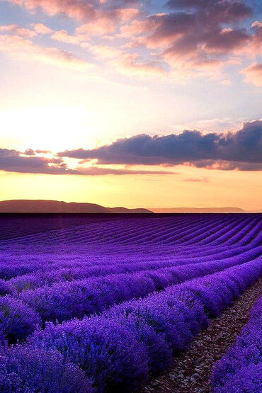 Sunset in lavender field, rance