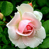 Tender Pink Rose with Droplets