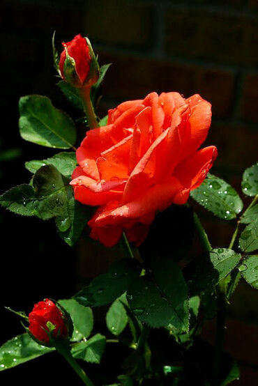 Wet Red Rose