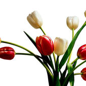 White & Red Tulips