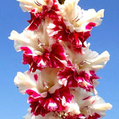Gladiolus 'All is Rosy'