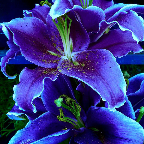 blue lilies. Black Bedroom Furniture Sets. Home Design Ideas