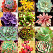 Echeveria variety mix