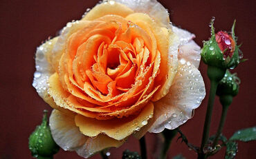 Wet Tea Rose