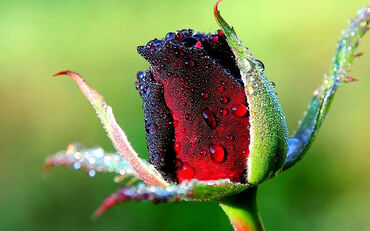 Fresh Dark Red Rose