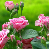 Very Fragrant Pink Roses