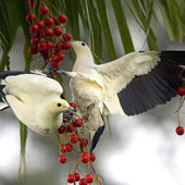 Awesome White Pigeons