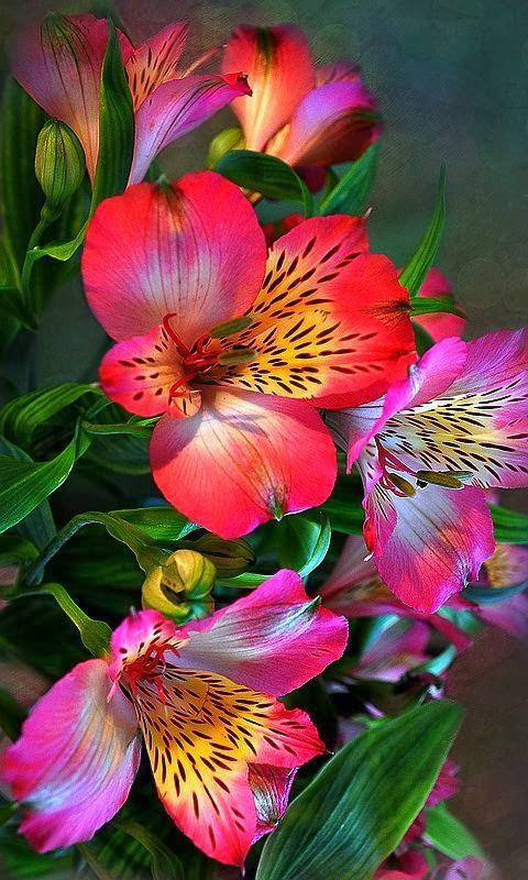 Alstroemeria Beautiful