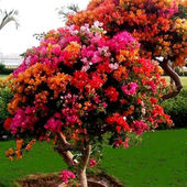 Bougainvilla trimmed to a tree.