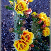 Desert beauty, beautiful desert cacti in bloom