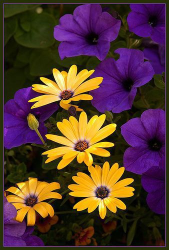 Purple petunias and yellow daisies