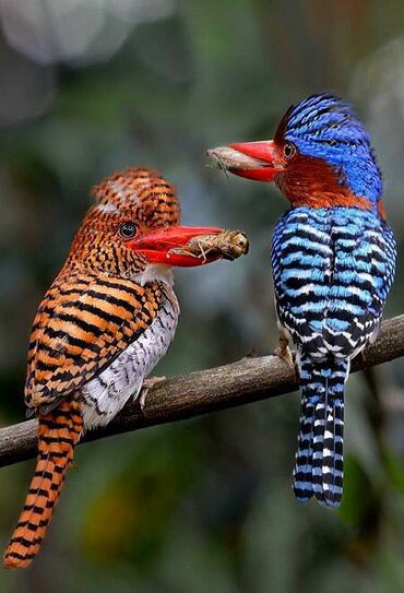 A couple of Banded Kingfishers, Thailand