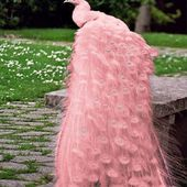 Rare pink peacock