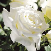 Clean Pure White Hybrid Tea Roses