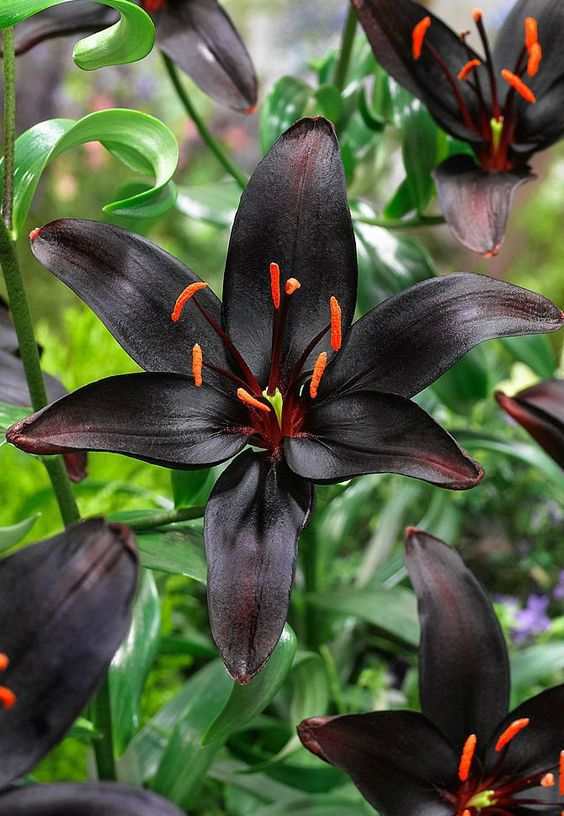Asiatic lily 'Queen of the Night'