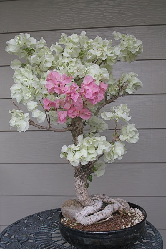 Bonsai Trees. Bougainvillea bonsai tree estimated at 40 years old
