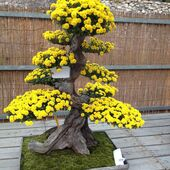 Large yellow flowering Bonsai