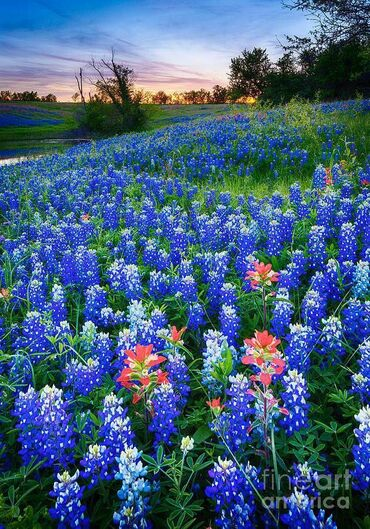 Texas Bluebonnets in 2020