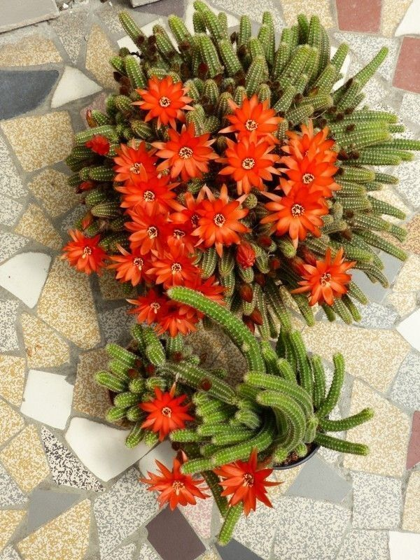 Flowers on a cactus
