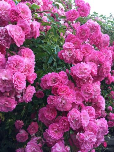Awesome Garden Roses