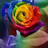 Beautiful rainbow rose
