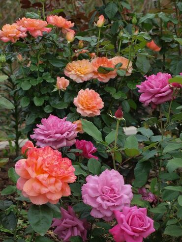 Beautiful garden roses