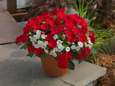 Amazing red and white flowers