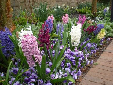 Beautiful hyacinthus