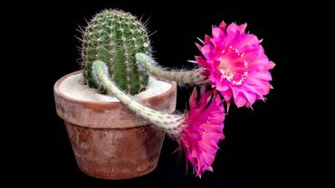 Gorgeous cactus flowers
