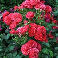 Beautiful red garden roses