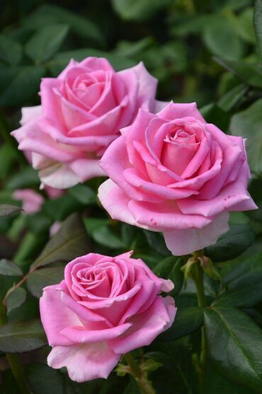 Beautiful pink garden roses